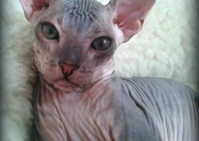 don-sphynx-anges-dArgent-maxim-don-005