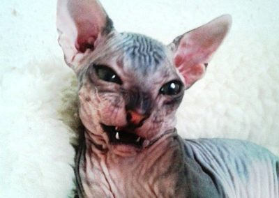 don-sphynx-anges-dArgent-maxim-don-012